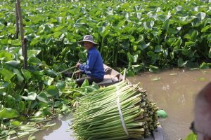 Harvesting water hyacinth stems which can then be used in basket weaving.