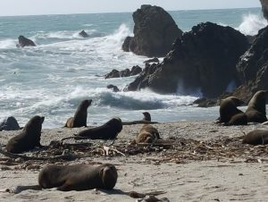 Fur Seal Colony on Tasman Sea