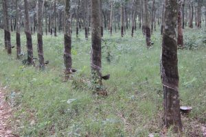 Rubber Trees giving latex - see the small bowls that are empty every day by cyclists with storage tanks.