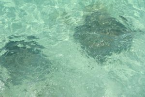 Stingrays swimming near shore in Half Moon Cay