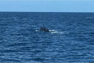 "Sighting a 45""Humpback whale near St. Vincent."
